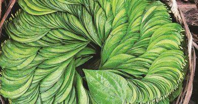 betel leaf for hair